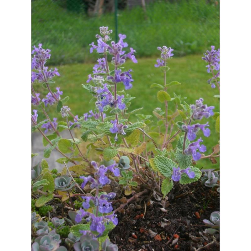 nepeta x faassenii katzenminze 50 pflanzen im 5 6 cm topf dachstauden. Black Bedroom Furniture Sets. Home Design Ideas