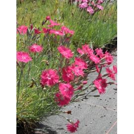 Dianthus gratianopolitanus Grandiflorus - Pfingstnelke, 50 Pflanzen im 5/6 cm Topf