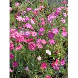 Dianthus plumarius Mix - Federnelke, 50 Pflanzen im 5/6 cm Topf