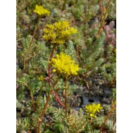 Sedum reflexum, 6 Pflanzen im 5/6 cm Topf