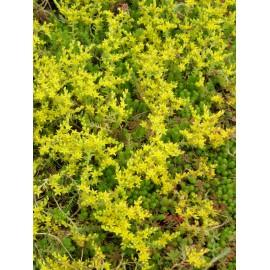 Sedum sexangulare, 6 Pflanzen im 5/6 cm Topf