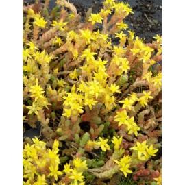 Sedum acre, 6 Pflanzen im 5/6 cm Topf