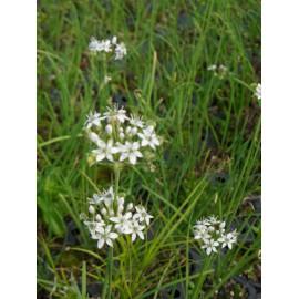 Allium tuberosum - Schnittknoblauch, 6 Pflanzen im 5/6 cm Topf