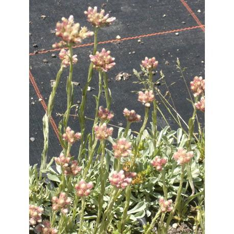 Antennaria dioica - Katzenpfötchen, 6 Pflanzen im 5/6 cm Topf