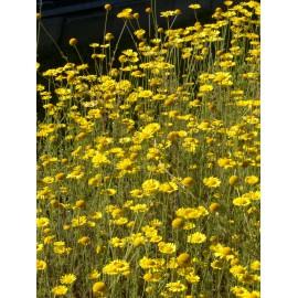 Anthemis tinctoria - Färberkamille, 6 Pflanzen im 5/6 cm Topf