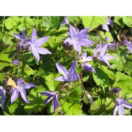 Campanula garganica - Adria-Glockenblume, 6 Pflanzen im 5/6 cm Topf