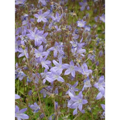 Campanula poscharskyana - Hängepolster-Glockenblume, 6 Pflanzen im 5/6 cm Topf