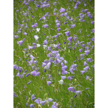Campanula rotundifolia - Rundblättrige Glockenblume, 6 Pflanzen im 5/6 cm Topf