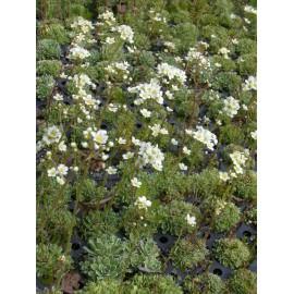 Saxifraga paniculata - Rispen-Steinbrech, 6 Pflanzen im 5/6 cm Topf