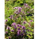 Thymus serpyllum Magic Carpet - Garten-Thymian, 6 Pflanzen im 5/6 cm Topf