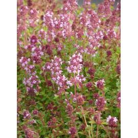 Thymus pulegioides - Arznei-Thymian, 6 Pflanzen im 5/6 cm Topf