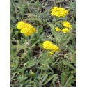 Achillea tomentosa - Teppich-Garbe, 6 Pflanzen im 5/6 cm Topf
