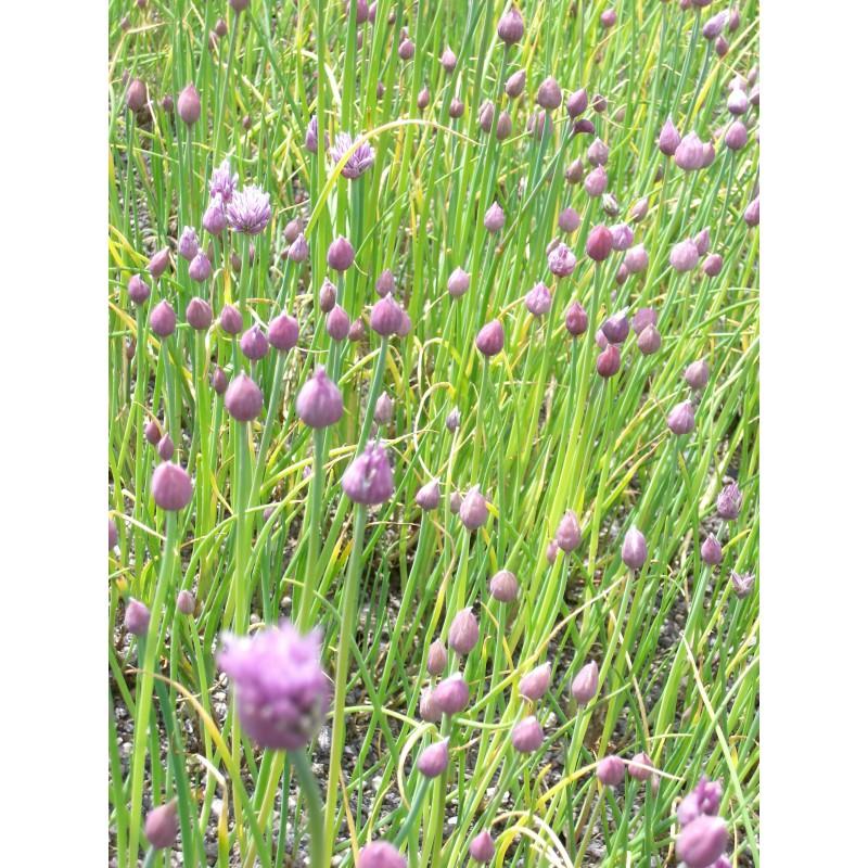 allium schoenoprasum schnittlauch 50 pflanzen im 5 6 cm topf dachstauden. Black Bedroom Furniture Sets. Home Design Ideas