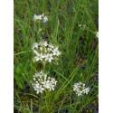 Allium tuberosum - Schnittknoblauch, 50 Pflanzen im 5/6 cm Topf