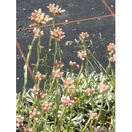Antennaria dioica - Katzenpfötchen, 50 Pflanzen im 5/6 cm Topf