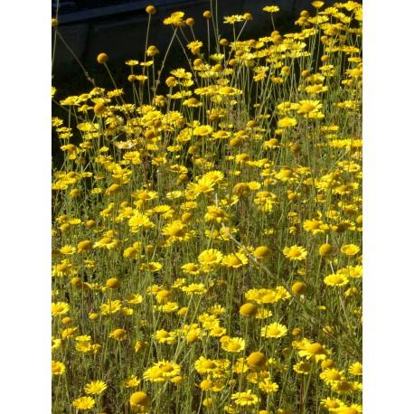 Anthemis tinctoria - Färberkamille, 50 Pflanzen im 5/6 cm Topf