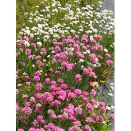 Armeria maritima - Grasnelken weiß und pink, 6 Pflanzen im 5/6 cm Topf