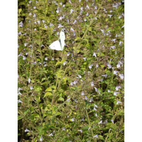 Calamintha nepeta - Bergminze, 50 Pflanzen im 5/6 cm Topf