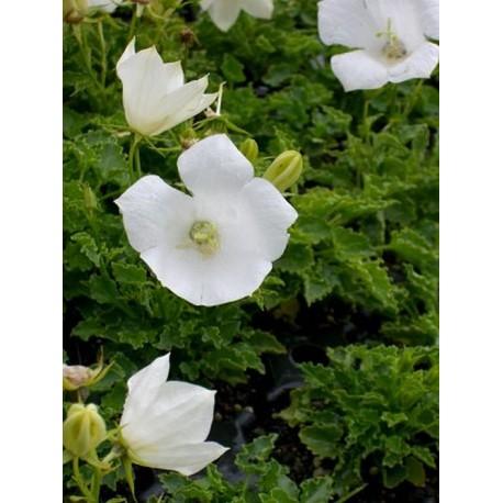 Campanula carpatica Alba - Weiße Karpatenglockenblume, 50 Pflanzen im 5/6 cm Topf