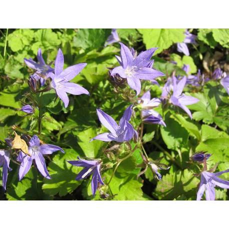 Campanula garganica - Adria-Glockenblume, 50 Pflanzen im 5/6 cm Topf