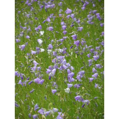 Campanula rotundifolia - Rundblättrige Glockenblume, 50 Pflanzen im 5/6 cm Topf