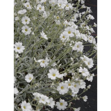 Cerastium tomentosum - Hornkraut, 50 Pflanzen im 5/6 cm Topf