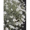 Cerastium tomentosum - Hornkraut, 50 Pflanzen m 5/6 cm Topf