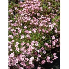 Gypsophila repens rosa - Zwergschleierkraut, 50 Pflanzen im 5/6 cm Topf
