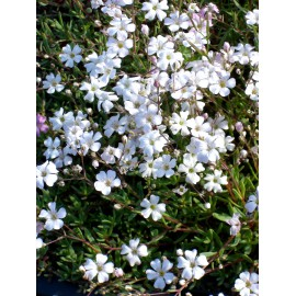 Gypsophila repens weiß - Zwergschleierkraut, 50 Pflanzen im 5/6 cm Topf