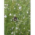 Satureja montana - Bergbohnenkraut, 6 Pflanzen im 5/6 cm Topf