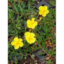 Helianthemum nummularium Evergreen - Sonnenröschen, 50 Pflanzen im 5/6 cm Topf