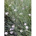 Petrorhagia saxifraga - Felsennelke, 50 Pflanzen im 5/6 cm Topf
