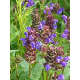 Prunella grandiflora - Braunelle, 50 Pflanzen im 5/6 cm Topf
