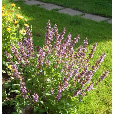 Salvia officinalis - Echter Salbei, 50 Pflanzen im 5/6 cm Topf