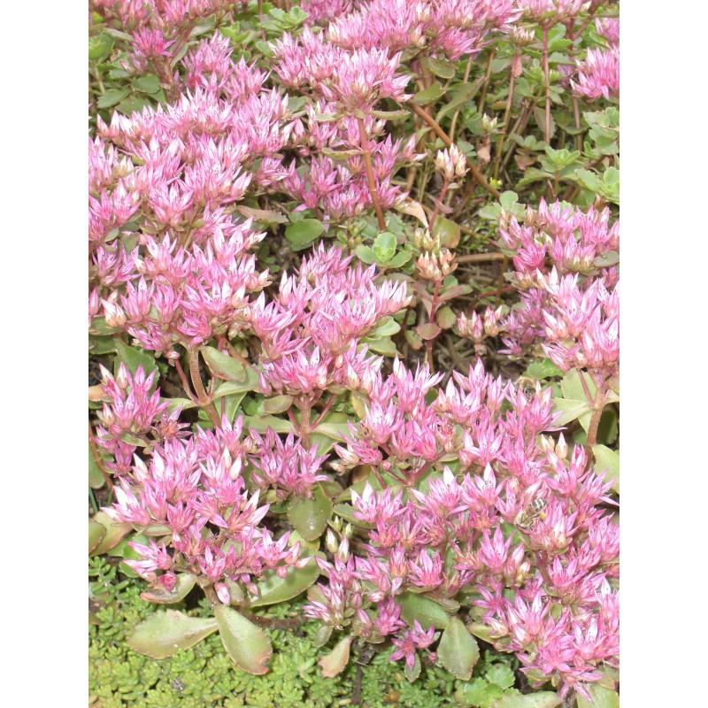 sedum spurium summer glory 50 pflanzen im 5 6 cm topf dachstauden. Black Bedroom Furniture Sets. Home Design Ideas