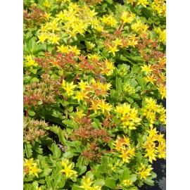 Sedum kamtschaticum, 6 Pflanzen im 5/6 cm Topf