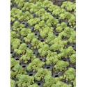 Sedum pachyclados, 100 Pflanzen im 5/4 cm Topf