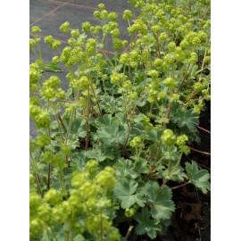 Alchemilla erythropoda - Zwerg-Frauenmantel, 6 Pflanzen im 5/6 cm Topf