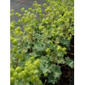 Alchemilla erythropoda - Zwerg-Frauenmantel, 50 Pflanzen im 5/6 cm Topf