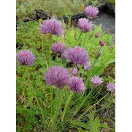 Allium schoenoprasum - Schnittlauch, 6 Pflanzen im 5/6 cm Topf