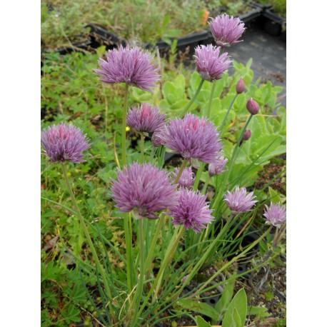 Allium schoenoprasum - Schnittlauch, 50 Pflanzen im 5/6 cm Topf