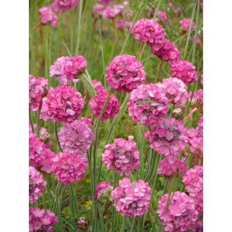 Armeria maritima - Grasnelke in pink, 50 Pflanzen im 5/6 cm Topf