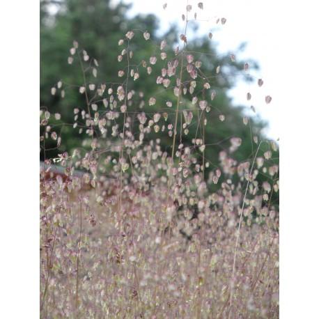 Briza media - Zittergras, 50 Pflanzen im 5/6 cm Topf
