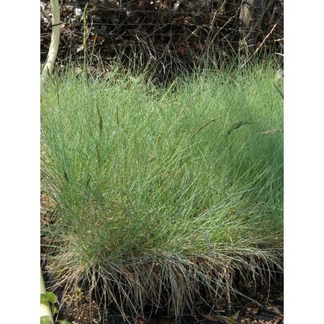 Festuca glauca - Blauschwingel, 50 Pflanzen im 5/6 cm Topf