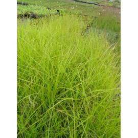 Carex muskingumensis - Palmwedel-Segge, 3 Pflanzen im 7/6 cm Topf