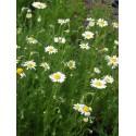 Chamaemelum nobile - Teppichkamille, 50 Pflanzen im 5/6 cm Topf