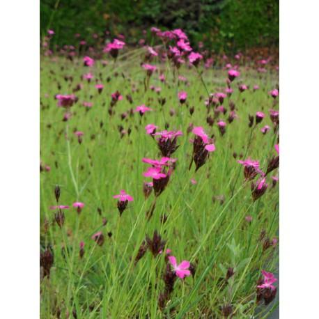 dianthus carthusianorum karth usernelke 6 pflanzen im 5. Black Bedroom Furniture Sets. Home Design Ideas