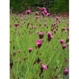 Dianthus carthusianorum - Karthäusernelke, 50 Pflanzen im 5/6 cm Topf