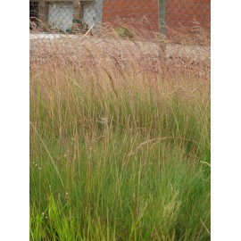 Festuca amethystina - Regenbogenschwingel, 6 Pflanzen im 5/6 cm Topf