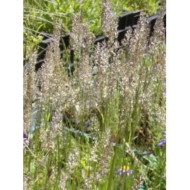 Koeleria glauca - Blaugraues Schillergras, 50 Pflanzen im 5/6 cm Topf